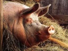 Свинина: Голова