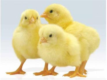 Цыплята суточные (бройлеры)